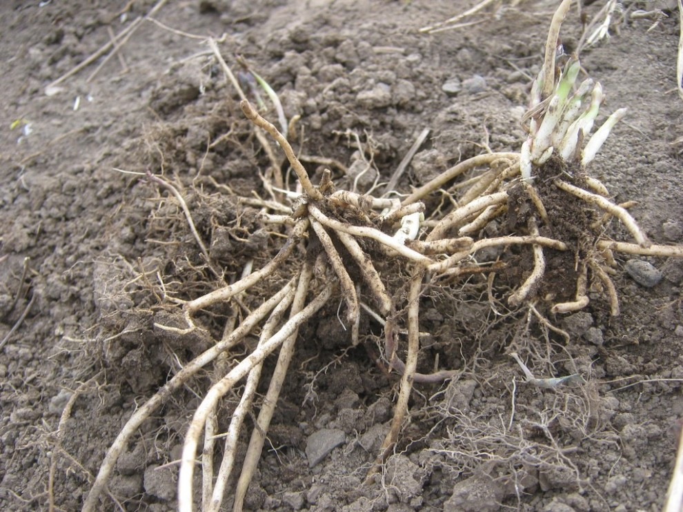 The roots of Black Swallowort