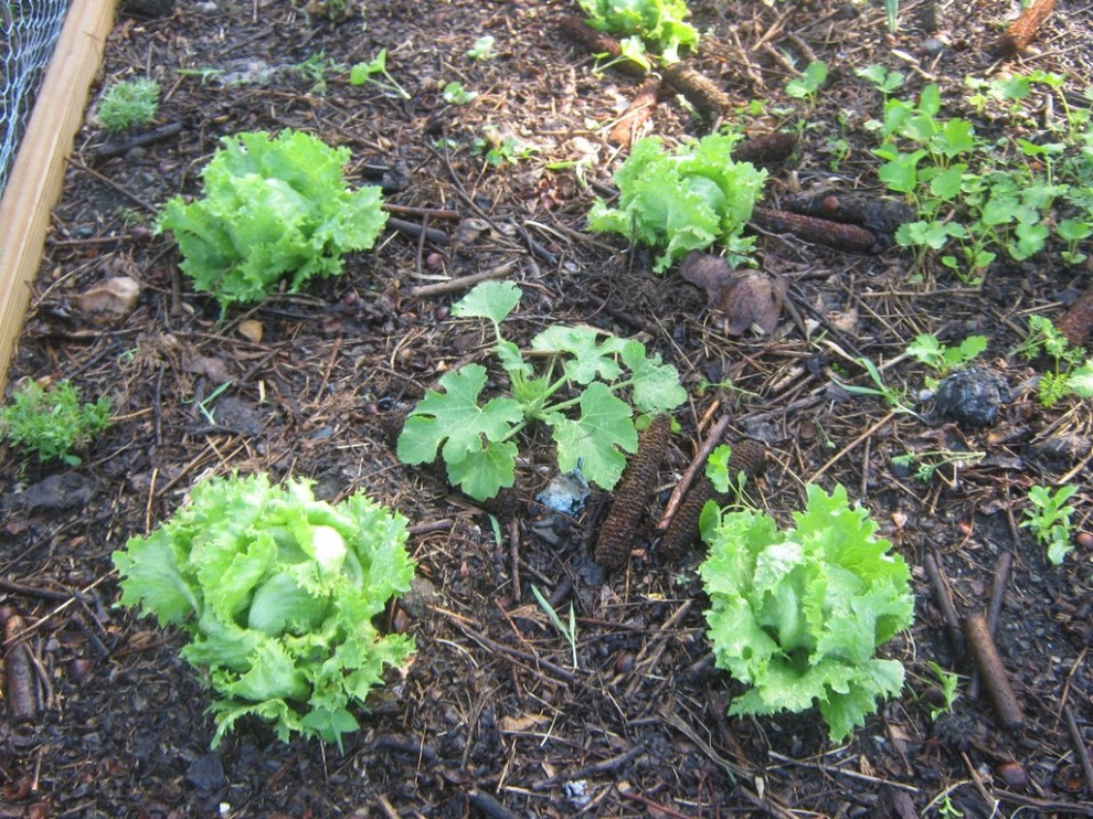 Four lettuces and a Cousa squash.