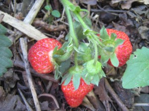 A cluster of strawberries